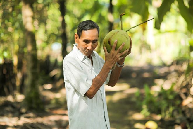 Lựa chọn từng trái dừa Bến Tre tốt nhất làm nguyên liệu